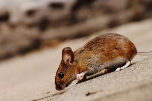 Mice Exterminator, Pest Control in Surbiton, Long Ditton, KT6. Call Now 020 8166 9746