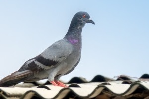Pigeon Pest, Pest Control in Surbiton, Long Ditton, KT6. Call Now 020 8166 9746